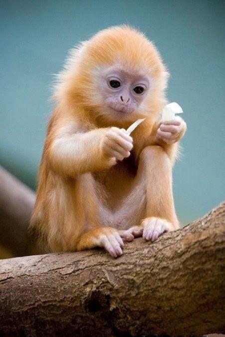 Cute Baby Monkey   Too Cute To Bear