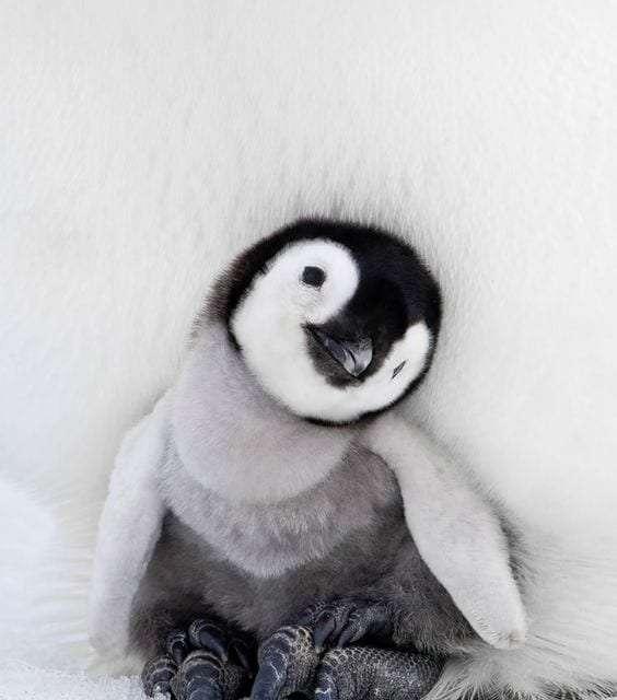 The cute penguin | Too Cute To Bear